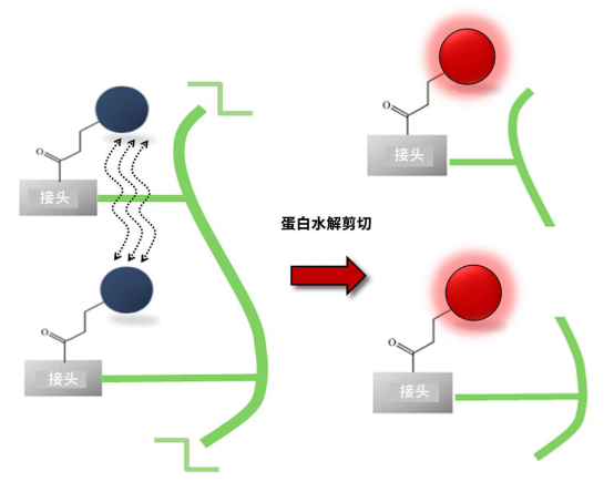 图 2.ProSense 探针活化原理图。(左)非常接近荧光团的非活化探针 (右)蛋白酶剪切作用分离荧光团以便活化.png