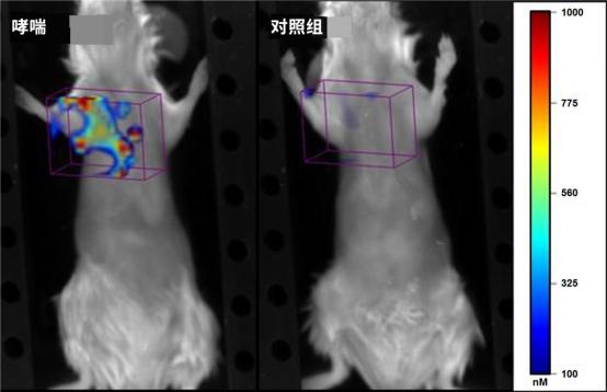 图 3.注射 ProSense 680 的哮喘小鼠(左),肺内可见荧光和炎症的广泛分布。对照组小鼠(右)几乎没有荧光信号.png