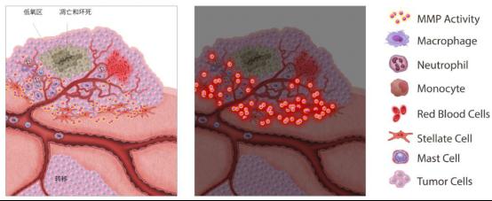 MMPSense探针促销活动 — 活体炎症微环境监测利器
