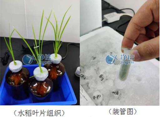 全自动样品快速研磨仪对水稻稻瘟病叶片研磨-净信