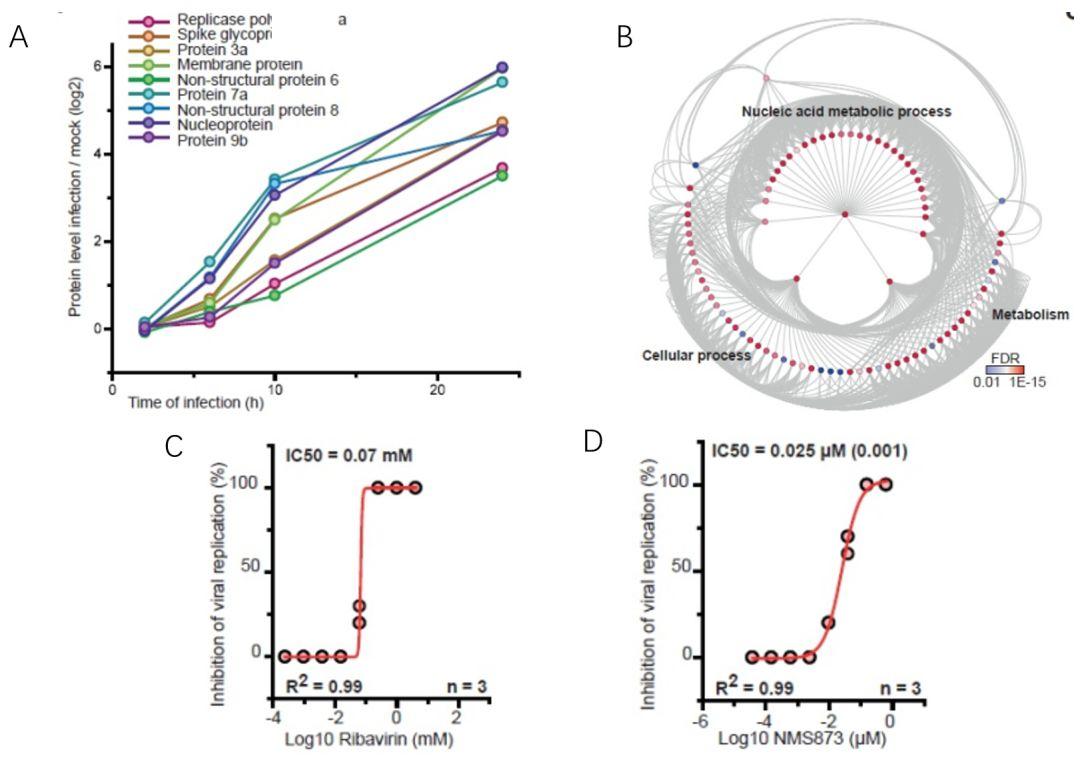 圖4. 核酸代謝相關的蛋白水平與病毒基因表達相關。A, 病毒蛋白隨感染時間的變化;B, 宿主蛋白與病毒蛋白關聯的GO分析;C, D, Ribavirin和NMS–873的抗病毒實驗。.jpg