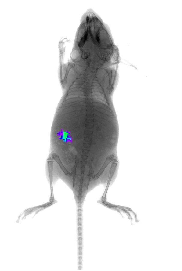 重磅推出!  基本功能:四种成像模式(发光成像、荧光成像、同位素成像、X光成像) + 三种功能模块(多光谱分析、骨密度分析、MARS 360度全角度成像模块) Xtreme是Bruker最新推出的小动物活体成像系统,具有最多的成像模式、最高的灵敏度、最高的分辨率和最快的成像速度,是全与专的完美结合。 高:超高灵敏度的发光成像 Xtreme采用高灵敏度的CCD相机,该相机的最小检测光子数<50photons/sec/cm2/sr,量子效率>95%(峰值),不仅能够进行深层肿瘤瘤、肿瘤转移位点的生物发光检测,