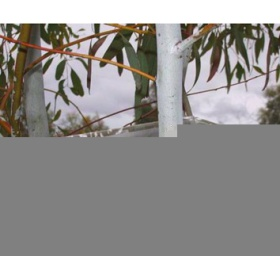 澳大利亚PSY-1植物茎杆水势仪