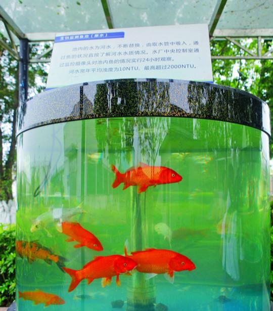 用小金鱼监测水质
