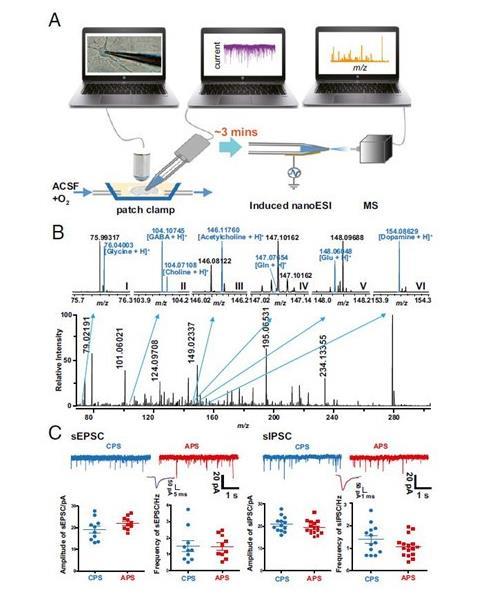 利用化学质谱方法能够对脑内单个神经元的基因组进行分析