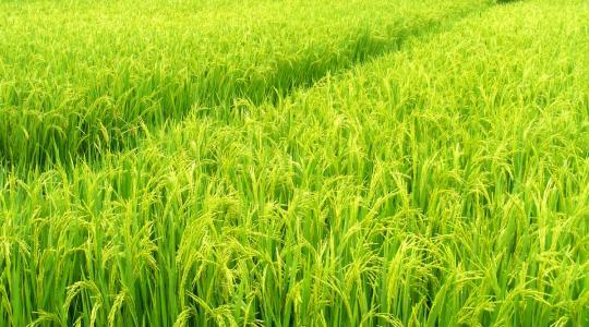 """稻米,不仅能果腹,而且""""种""""出了中国文化"""