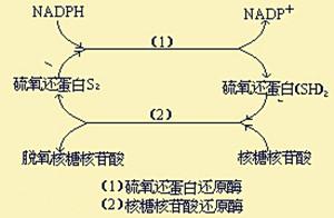 我国开发快速特异性荧光探针用于对硫氧还蛋白还原酶的研究
