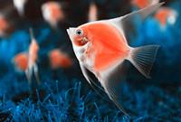 吃魚膽真的可以明目嗎?