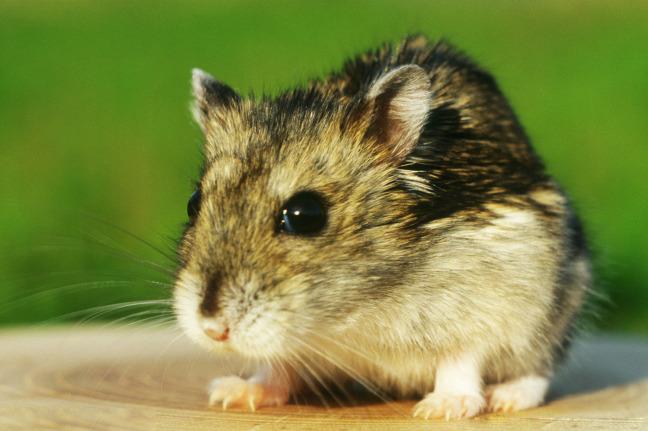 """近年来,凭借品种多,价格低的优势,宠物鼠也持续走红,成为新一代""""萌宠"""""""