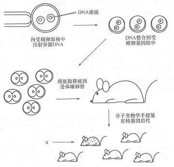 转基因动物的应用体现在哪?