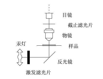 荧光显微镜工作原理